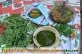 Polvo y hoja de moringa oleífera en Guatemala